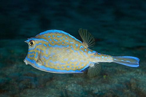 Scrawled Cowfish (Acanthostracion quadricornis)