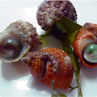 Chestnut Turbo Snail (Turbo castanae)