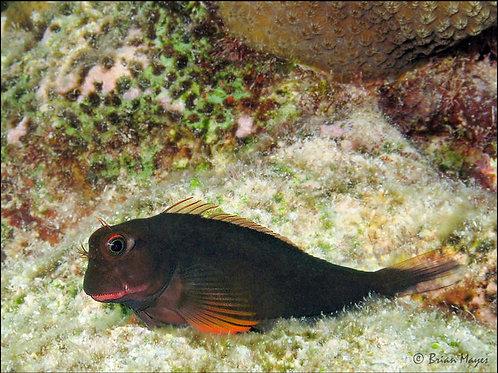 Redlip Blenny (Ophioblennius macclurei)
