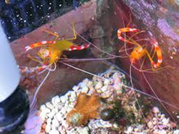 Golden Banded Coral Shrimp (Stenopus scutellatus)