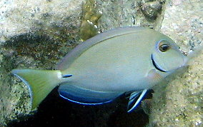 oceansurgeonfish_9709