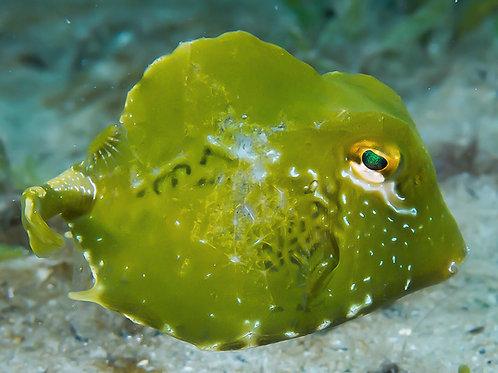 Green Trunkfish (Lactophrys trigonus)