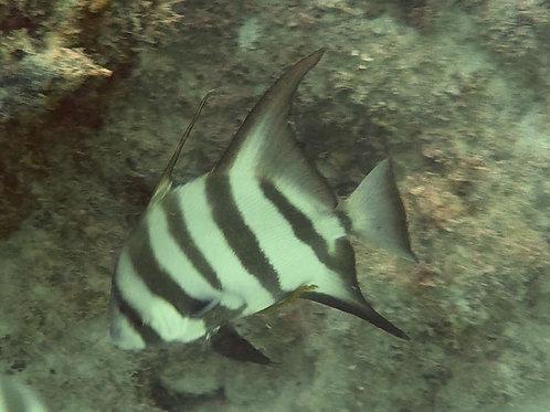 Atlantic Spadefish (Chaetodipterus faber)