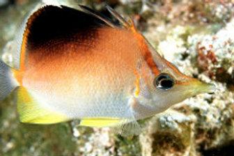 Longsnout Butterflyfish (Progathodes aculeatus)