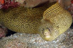 goldentail-morayJPG