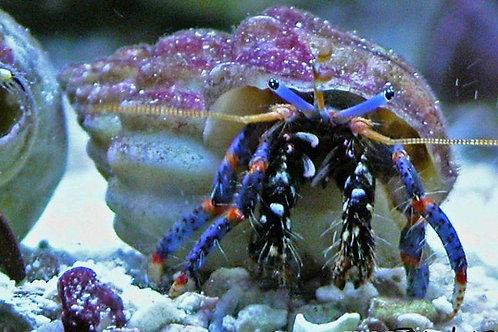 Blue Leg Hermit (Clibanarius tricolor)