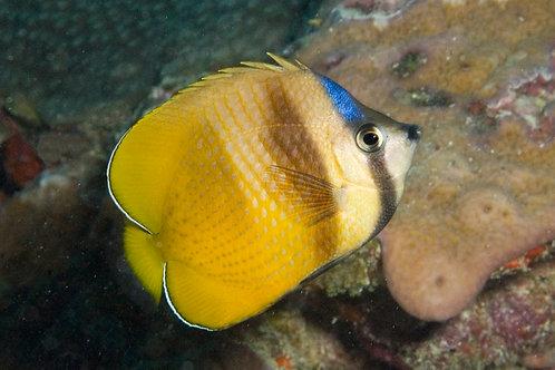 Black Lip Butterflyfish (Chaetodon kleinii)
