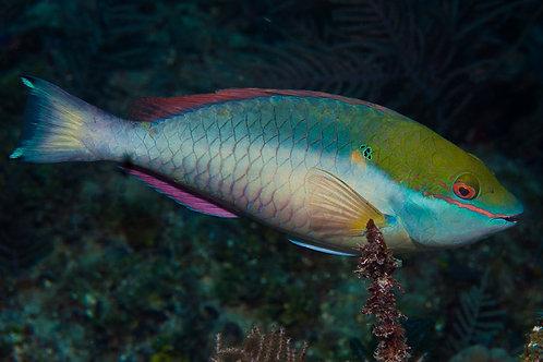Redband Parrotfish (Sparisoma aurofrenatum)