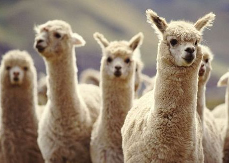 HOLIDAY GIFT GUIDE: FOR THE LLAMA LOVER