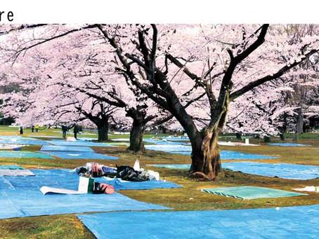 桜のお花見に畳シート