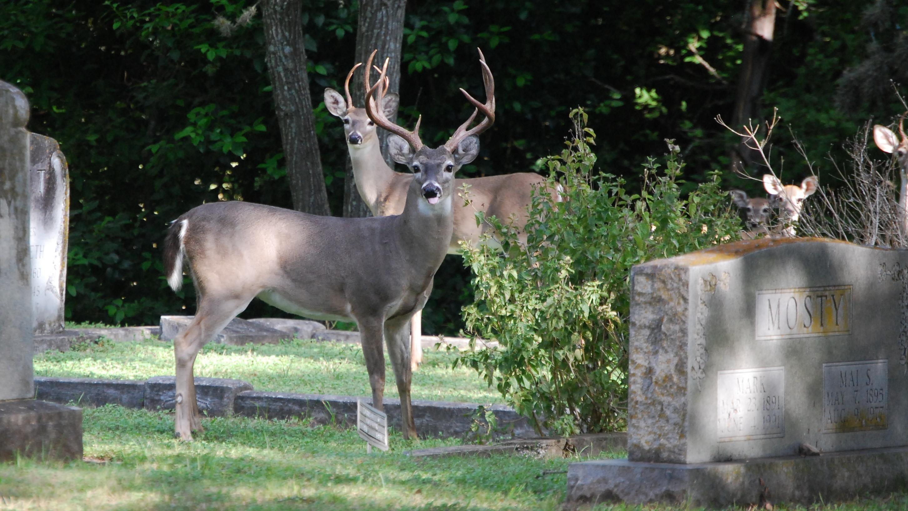 654 deer at cemetery
