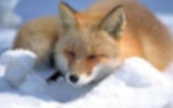 fox-min (1).jpg