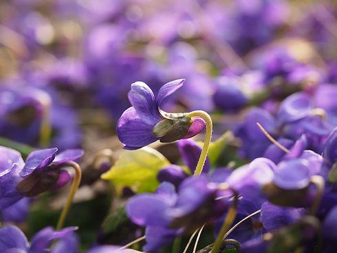 scented-violets-1077162_1920.jpg