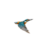 kingfisher_3_edited_edited.png