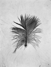 「薄い羽」