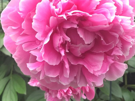 Peonies, planting, and projects