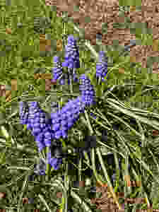 Some sweet little Muscari that show up in my lawn each Spring