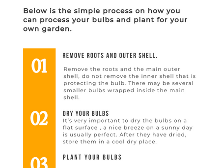 How to care for tulip bulbs