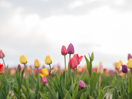 What to expect this tulip season?