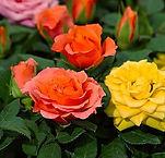 mini rosas.jpg