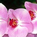 Orquídea Maravilha