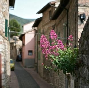Flowers in Cortona
