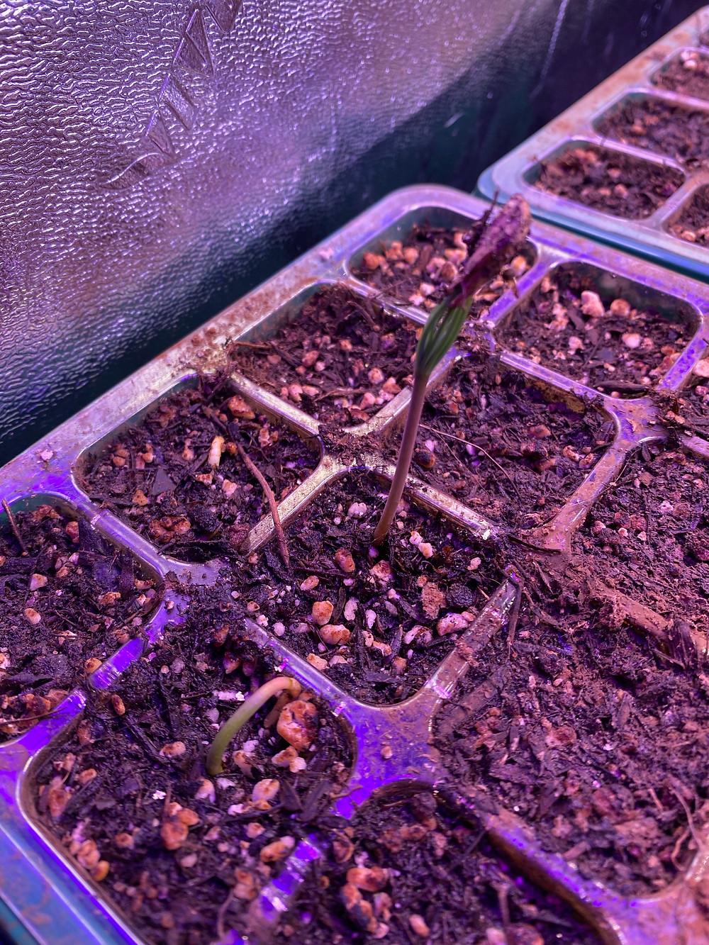 Deodar Cedar seedlings