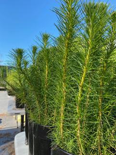 pineseedlings.jpeg