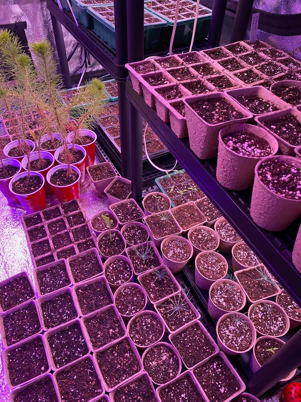growing Christmas tree seedlings in a grow tent