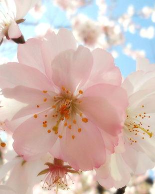 cvetovi cesnja.jpg