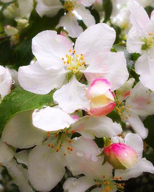 hruske cvet.jpg
