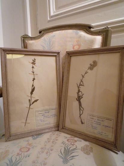 Paire d'herbiers anciens, cadre en bois patiné lin