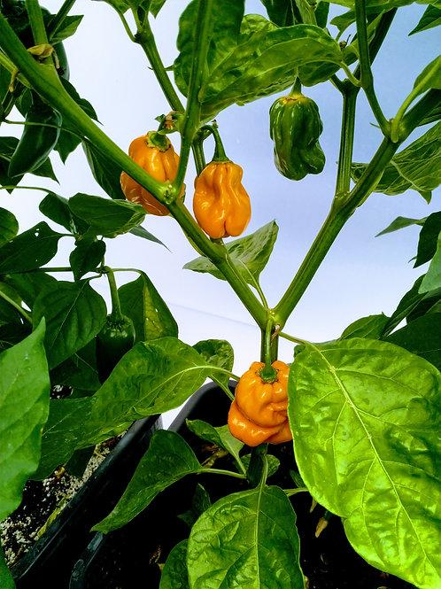 Chili-Samen NuMex Suave orange - Schärfegrad 2
