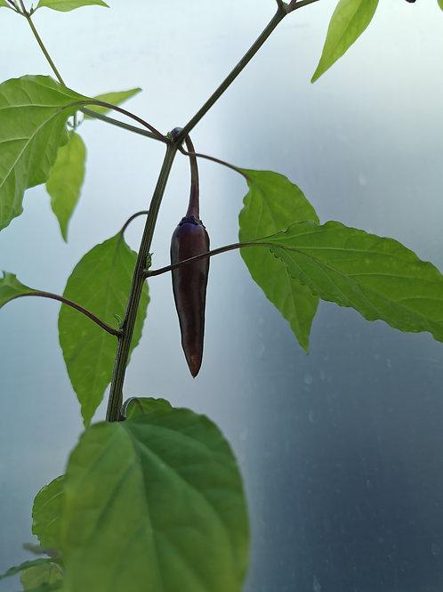 Chili-Samen Cayenne purple - Schärfegrad 6