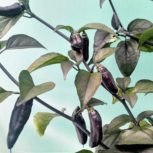 Chili-Samen Pimienta da Neyde - Schärfegrad 8