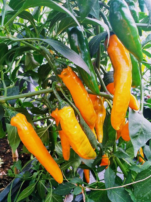 Chili-Samen Cayenne golden - Schärfegrad 6