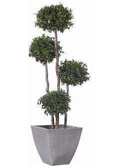 arbre-4-boules-buis-pittosporum-stabilis