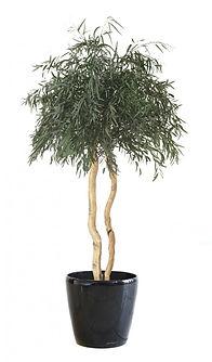 eucalyptus-nicoly-stabilise-sur-tige-ver