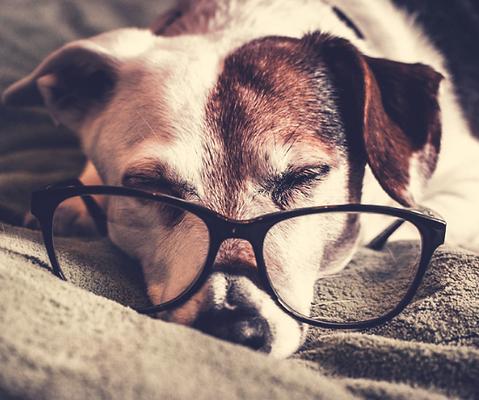 Dog wearin glasses