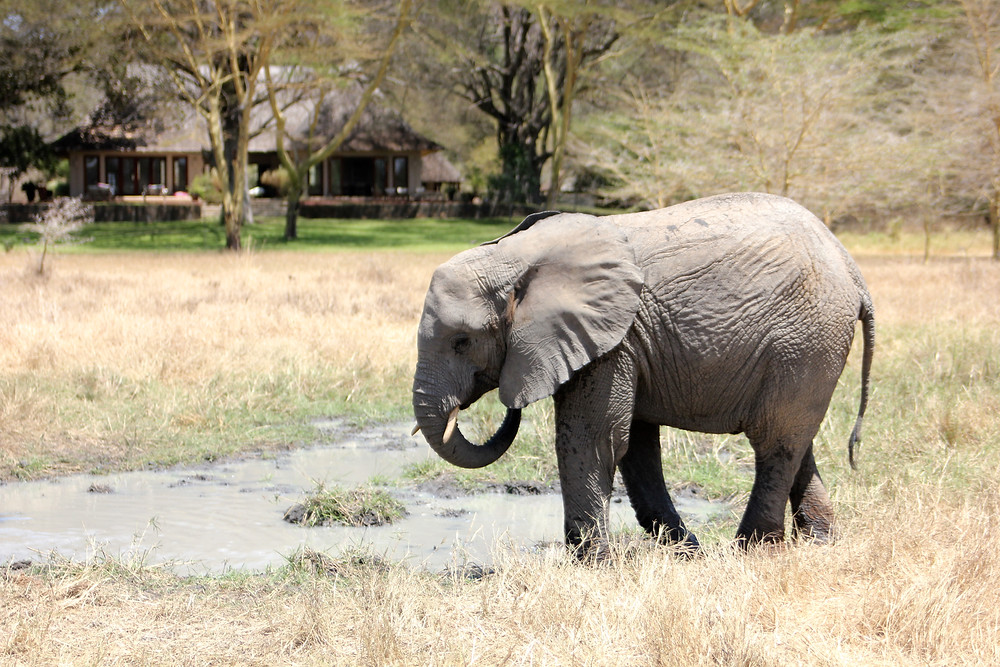 Morning mud bath at Umani Spring. Guest lodging can be seen in the background.