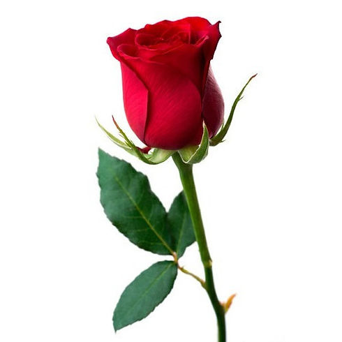 red-rose-500x500 (1).jpg