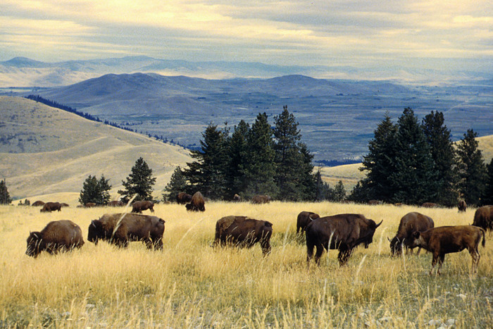 MAPGA: Make America's Plains Great Again. Eat Bison Meat!