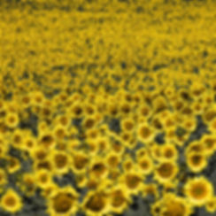 1124-One-billion-sunflowers.jpg