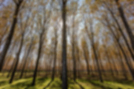 2780-The-poplar-wood.jpg