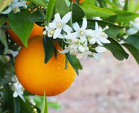 Valencian orange and orange blossoms aft