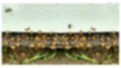 honeybees (2).jpg