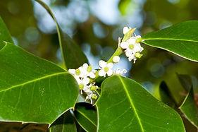 Foliage and flowers of holly (Ilex aquif