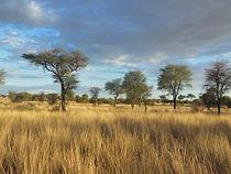 Eastport Ventures explores for diamonds in beautiful Botswana savanna with scattered acacia trees near Jwaneng, Botswana.