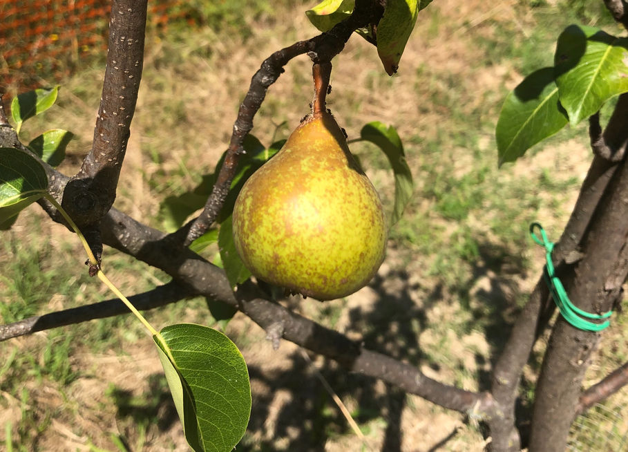 Have a pear!