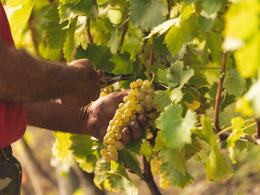 Moscato vineyards